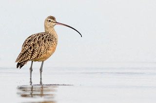 A Long-billed Curlew from Both Sides Now