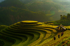 Mu Cang Chai Rice Terraces (kimtaro2008) Tags: asia mucangchai vietnam agriculture asian bai bali china control county curve destination earth ecology environment farm field food green ground grows harvest horticulture indochina land landscape leaf local management mountain nature outside paddy patchwork plant plantation rainy regulation rice rough saigon sapa soil sunset terrace travel valley viet vietnamese yen