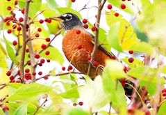 American robin eating crabapples at Lake Meyer Park IA 854A7550 (lreis_naturalist) Tags: american robin eating crabapples lake meyer park winneshiek county iowa larry reis