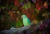Periquito-de-Colar (Carlos Santos - Alapraia) Tags: ngc ourplanet animalplanet canon nature natureza wonderfulworld highqualityanimals unlimitedphotos fantasticnature birdwatcher periquitodecolar ave bird