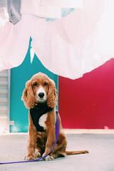 Puppy love. (georgie pics) Tags: animalphotoshoot boy cuteanimal doggy doggie blue pink cutedog floppyears cute puppydog dog puppy nature animals filmphotographer canon nikon 35mm vintage film vibrant