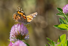 I read the news today oh boy (Tim Melling) Tags: vanessa cynthia cardui painted lady red clover canada port hardy british columbia timmelling