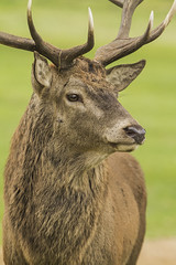 RED DEER (_jypictures) Tags: photography pictures animalphotography animals animal canon7d canon canonphotography wildlife wildlifephotography bushypark jyphotography jypictures