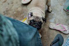 DSC_1035-1 (santi.gual) Tags: dogs pug pugs pets animal animals bite motion blur d5000 nikon yongnuo 35mm f2