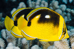 Fourspot Butterflyfish - Chaetodon quadrimaculatus (zsispeo) Tags: actinopterygii chaetodonlinnaeus1758 chaetodontidae osteichthyens perciformes teleostei quadrimaculatus tahiti polynesia scuba diving tropical reef fish underwater macro macrophotography sea ocean holidays vacation summer beach relaxation coral fauna wildlife wild geotagged science taxonomy travel sustainable life aquatic beautiful nature animal biology id identification souvenir living favorite natural rare saltwater turquoise blue conservancy quality escapade tourism wet outdoors