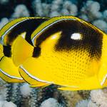 Fourspot Butterflyfish - Chaetodon quadrimaculatus thumbnail