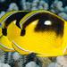 Fourspot+Butterflyfish+-+Chaetodon+quadrimaculatus