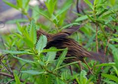 IMGP2269 Fernbird--gone  Rotokare Lake Sanctuary Eltham Taranaki 12 10 17 (Donald Laing) Tags: new zealand taranaki lake rotokare sanctuary fernbird donald laing