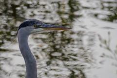 Heron on Thames-EA120238 (tony.rummery) Tags: bird chertsey em10 heron mft microfourthirds omd olympus riverside surrey thames england unitedkingdom gb
