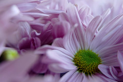 late summer (nelesch14) Tags: purple summer flower marguerite closeup macro nature garden petals soft pastel autumn