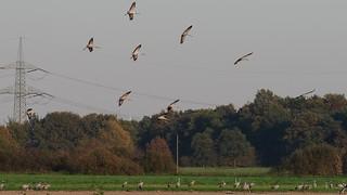 Common crane / Eurasischer Kranich (Grus grus)