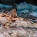 Flying Gurnard - Dactyloptena orientalis