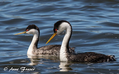 A pair of Western Grebes (Anne Marie Fraser) Tags: lake water waterfowl birds bird nature wildlife colorado red eyes westerngrebes grebes pair