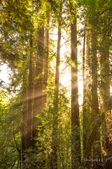 Muir Light (Studio281Photos) Tags: california marincounty muirwoods redwoodforest redwoods morning morninglight forest woods trees sunrays corpuscularrays summer nature travel nikon nikond810 2470mm