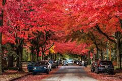 I Saw Red 🍁❤ Vancouver, BC (Michael Thornquist) Tags: kitsilano autumn red leaves vancouver myportcity 604now photos604 explorebc explorecanada canoncanada ilovebc britishcolumbia pacificnorthwest pnw canada 500px