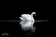 Two elements (Nicola Franzoso Naio) Tags: animali parconaturaledelfiumesile parcodelfiumesile swan cigno water wow wild white dark black animal italy veneto light studiolight poetic fairy bird