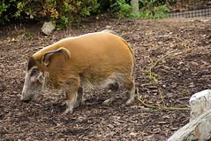 Penseelzwijn - Red river hog (Den Batter) Tags: nikon d7200 blijdorp zoo dierentuin penseelzwijn redriverhog potamochoerusporcus