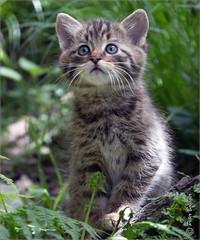 Wild kitten (Fisherman01) Tags: 1tier wildkatze wildcat langenberg jungtier