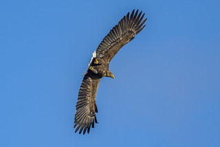 White-tailed Eagle (wild) - Is this the most impressive sight in birding?