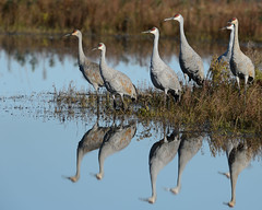 Cranes-49354.jpg (Mully410 * Images) Tags: burnettcounty birdwatching birding crexmeadowsstatewildlifearea sandhillcranes d4 crexmeadows birds cranes nikon bird reflection wisconsin