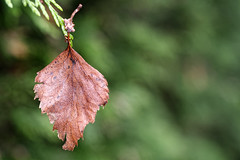 Out Of Place (Alfred Grupstra) Tags: leaf autumn nature tree season forest closeup plant backgrounds outdoors red beautyinnature yellow macro brown october multicolored dry greencolor branch conifer 984