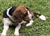 Atento (Alef1961) Tags: striker perro dog animals pet mascota friend beagle