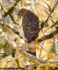 Cooper's Hawk (orencobirder) Tags: birds largebirds hawks flickrexport