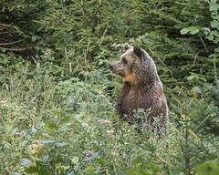 IMG_6661 (Branko.Hlad) Tags: medvedka bears gozd narava živali animals