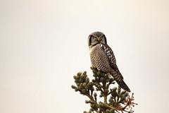 Hawk Owl Scowl (Dan King Alaskan Photography) Tags: northernhawkowl owl denalinationalpark alaska canon50d sigma150600mm