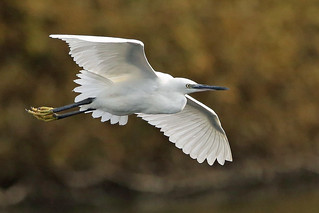 A Little Egret in flight. ( Egretta garzetta ).