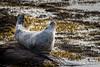 Common Seal (Ginger Snaps Photography) Tags: sealife seal common commonseal wild wildlife nature wildlifephotography sea seaweed harris isleofharris island stretch