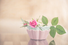 A gift from my garden (Ro Cafe) Tags: rose stilllife bud flower pink soft softfocus softlight softcolors pastels textured reflections home nikkormicro105f28 nikond600