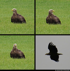 20150710_1 Blurry white-tailed eagle (Haliaeetus albicilla) in a field & flying! :O | Gotland, Sweden | Photos retained at full resolution (ratexla) Tags: ratexla'sgotlandtrip2015 nonhumananimal gotland 10jul2015 2015 canonpowershotsx50hs sweden sverige scandinavia scandinavian europe beautiful earth tellus photophotospicturepicturesimageimagesfotofotonbildbilder europaeuropean summer travel travelling traveling norden nordiccountries roadtrip journey vacation holiday semester resaresor nature bird birds wild vild vilda wildlife fågel fåglar djur nonhumananimals animal animals cute cool organism life biology zoology ornithology ontheroad sommar whitetailedeagle haliaeetusalbicilla eagle eagles havsörn havsörnar örn örnar polyptych tetraptych dinosaur dinosaurs dinosaurie dinosaurier favorite