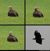 20150710_1 Blurry white-tailed eagle (Haliaeetus albicilla) in a field & flying! :O | Gotland, Sweden | Photos retained at full resolution (ratexla) Tags: ratexla'sgotlandtrip2015 nonhumananimal gotland 10jul2015 2015 canonpowershotsx50hs sweden sverige scandinavia scandinavian europe beautiful earth tellus photophotospicturepicturesimageimagesfotofotonbildbilder europaeuropean summer travel travelling traveling norden nordiccountries roadtrip journey vacation holiday semester resaresor nature bird birds wild vild vilda wildlife fågel fåglar djur nonhumananimals animal animals cute cool organism life biology zoology ornithology ontheroad sommar whitetailedeagle haliaeetusalbicilla eagle eagles havsörn havsörnar örn örnar polyptych tetraptych dinosaur dinosaurs dinosaurie dinosaurier favorite