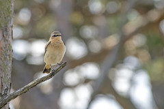 Wheatear (Oenanthe oenanthe) (another walt) Tags: wheatear oenanthe thursley common