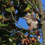 Young Northern Mockingbird thumbnail