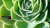 92 (bebsantandrea) Tags: levanto baiedellevante liguria natura campagna wild giardino fiori rosa pesco ciliegia fico ficodindia carciofo formica topo libellula mosca zanzara grillo ape vespa lucertola lizard farfalla butterfly riccio cimice ramarro afide pianta albero ragnatela gocce raindrop microcosmo sfingedelgalio farfallacolibrì ragno spider limone arancio arancia boragine impollinatrice cicala autunno estate primavera inverno bruco margherita zucca lampone fragola mantidereligiosa gallina coniglio coccinella kiwi