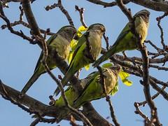 Monk parakeets of Brooklyn (piranhabros) Tags: cemetery greenwoodcemetery brooklyn monkparakeet parakeet parrot bird animal