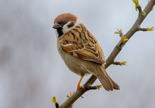 DSC9717  Tree Sparrow..