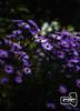 Midnight (psp_preitschaft_stefan) Tags: flower natur nature soft dark purple garden home atumn