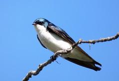 Tree Swallow, Male (linda long) Tags: birds avian swallows perching treeswallow wildlife nature oregon
