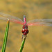 Red-veined pennant - today (Celithemis bertha)