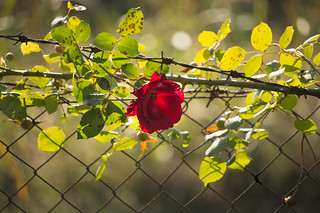 Rose on the fence