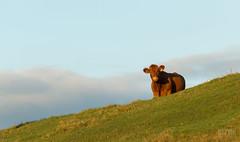 Moo? (Alexandre Légaré) Tags: nikon d3200 farm animal ferme animale cow vache brune brown hill colline