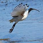 Australian White Ibis (4980) thumbnail
