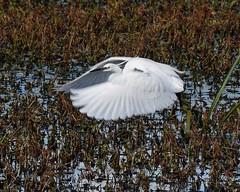 Little Egret Ham Wall 2233  D210bob DSC_7296 (D210bob) Tags: littleegret hamwall d210bob dsc7296 2233 nikond7200 wildlifephotography birdphotography nikon nikon200500f56 naturephotography