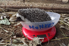 "Hedgehog weigh-in • <a style=""font-size:0.8em;"" href=""http://www.flickr.com/photos/152934089@N02/37615171211/"" target=""_blank"">View on Flickr</a>"