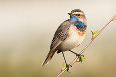 Bluethroat Luscinia svecica (janmangorfagerland) Tags: animal birds bird birdphoto birdsgallery bokeh birding birdsofnorway blue colours colorful d800e dephtoffield depth distinguishedbirds 300mmvrii28g exposure evening fagerland field fugler flickr fjell fuglebilder fauna g gallery green grey hardangervidda photography photo white nikon wildlife nikkor vidde jan janfagerland landscape light luscinia planet mountain myr mangor nature norway norge natur outdoor ornithology portrait plant red rest resting vr supertele songbird sun black blåstrupe