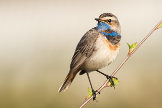 Bluethroat Luscinia svecica