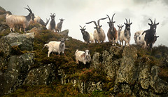 My mountain friends (PentlandPirate of the North) Tags: welsh mountain goats dinorwic snowdonia gwynedd northwales billy ~flickrinnes flickrinnes